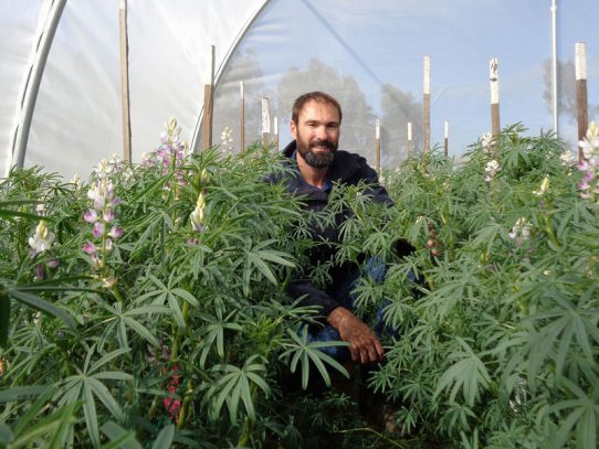 Harvest lupins for seed sooner, rather than later