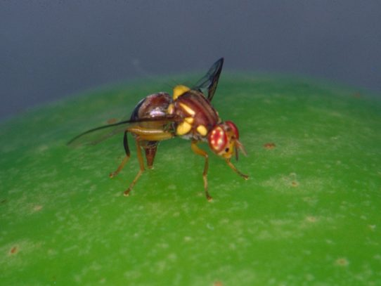 New investment in fruit fly management welcomed
