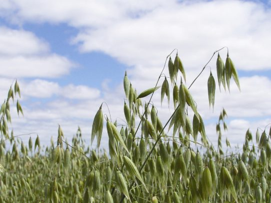 Consider N strategies in early-sown oats