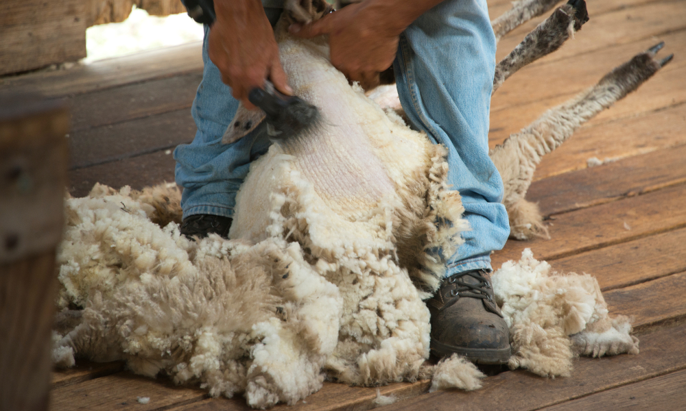 Boost to shearing industry capacity